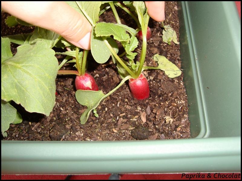 Radis d but mai 2014 paprika chocolat - Quand cueillir les radis ...